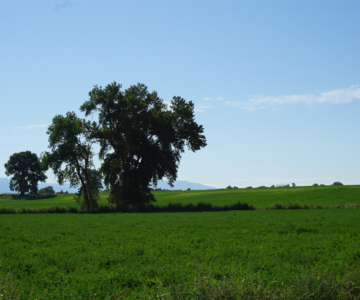 A large tree in a green field existing prior to Emerald Ridge Estates